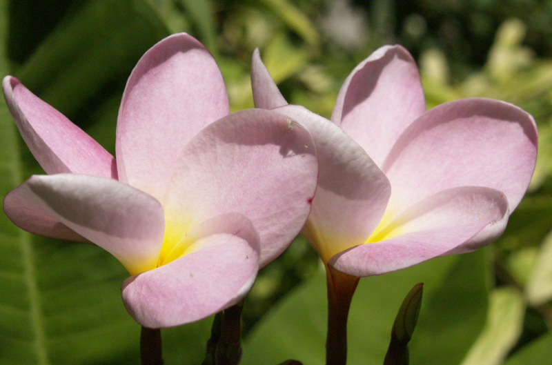 Pink plumeria from It's About Thyme