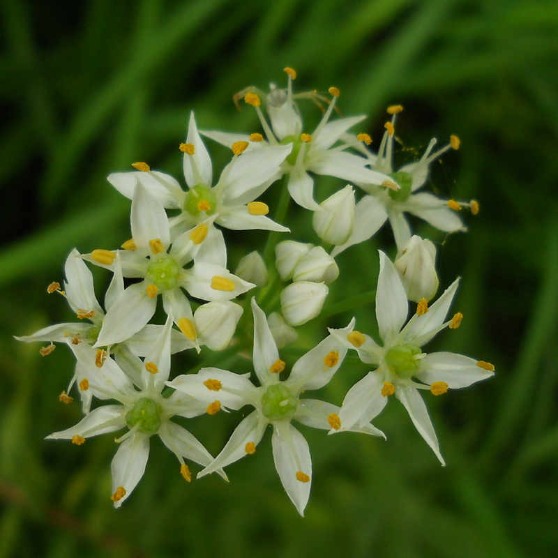 Garlic chives flowerhead