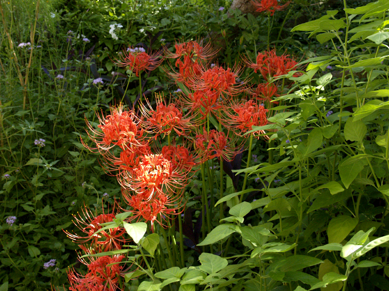 Lycoris radiata with shrimp plant