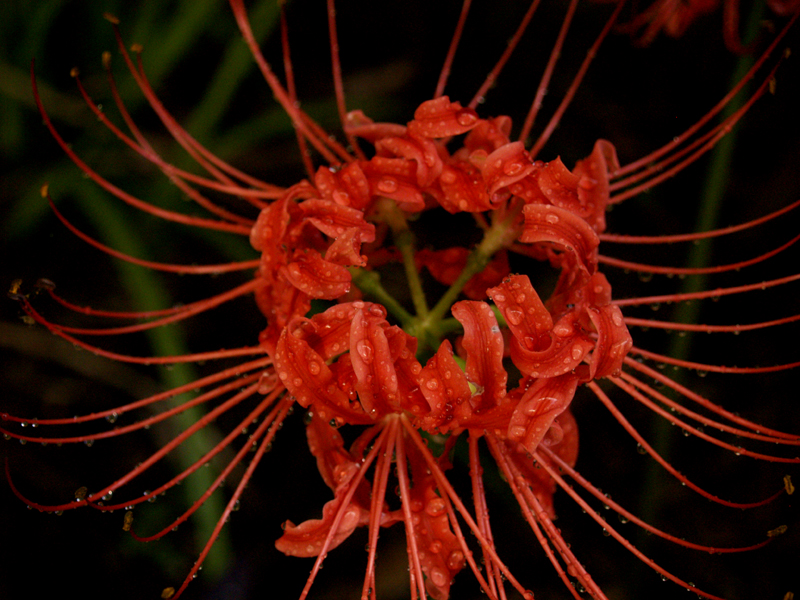 spider lily Lycoris radiata in rain