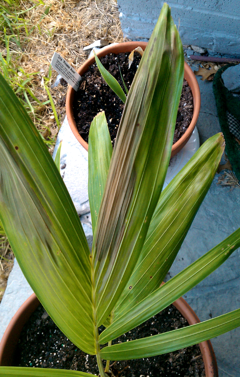 potted palm with browned foliage