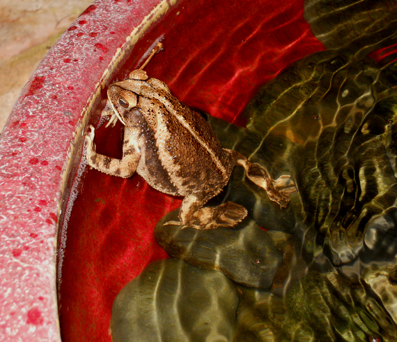 Toad in fountain basin