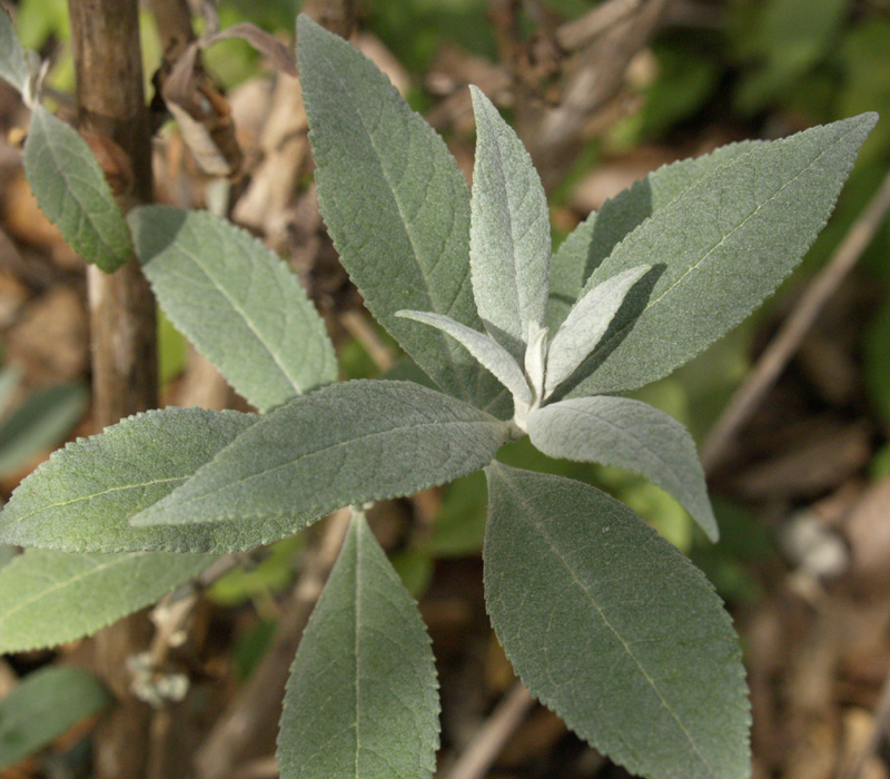 Buddleja 'Butterfly Heaven' winter gray leaves
