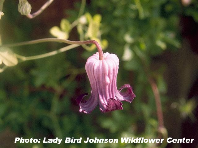 Purple clematis, Purple leatherflower (Clematis pitcheri)