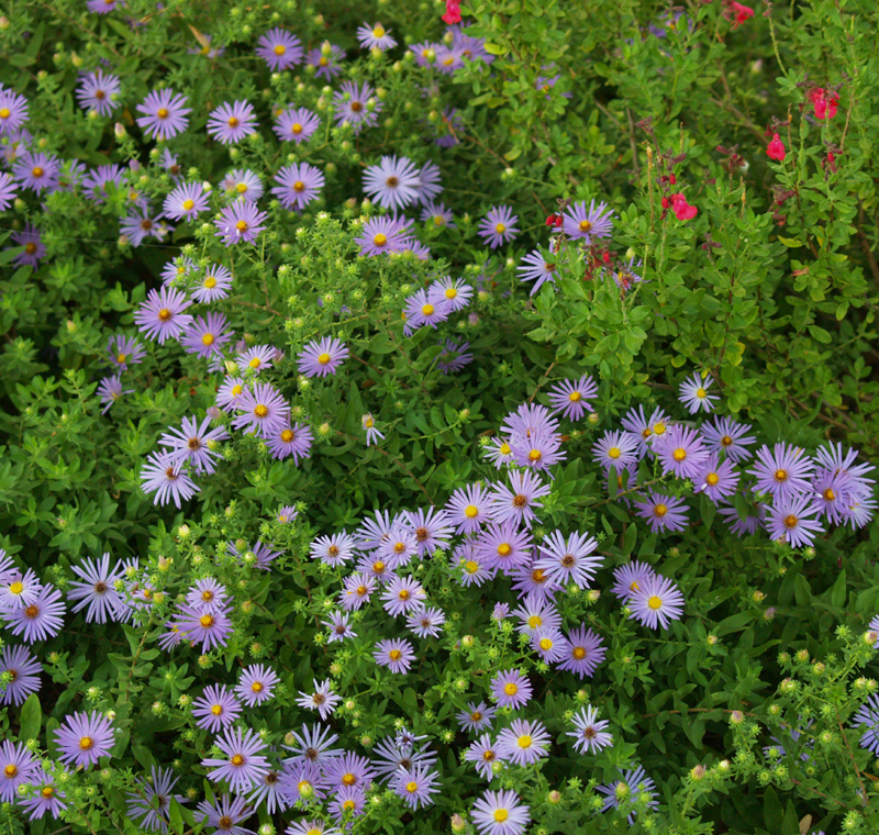 Asters and Salvia greggii