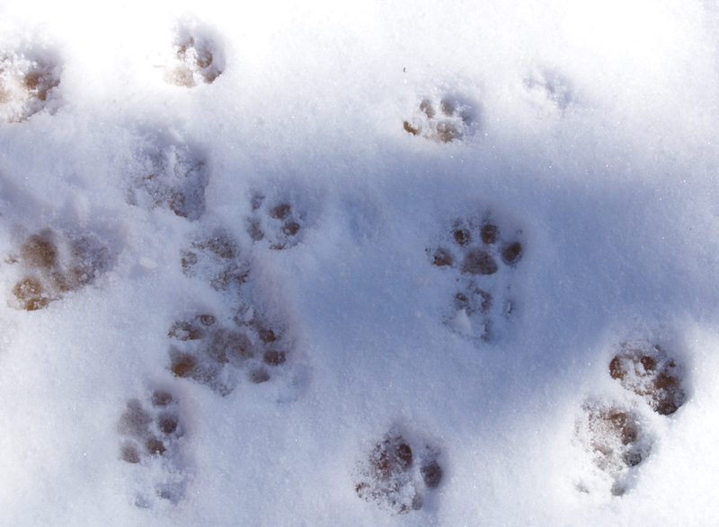 cat paws in snow