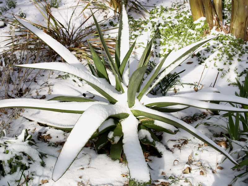 Agave celsii in snow