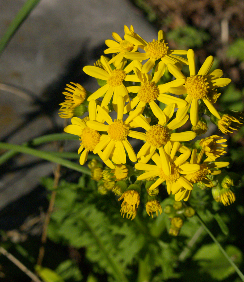 Golden groundsel, Packera obovata