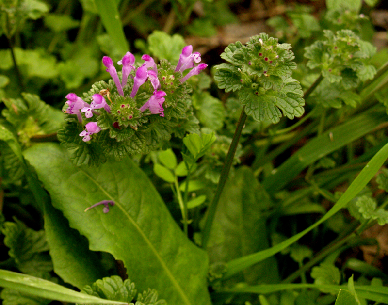 Henbit and dandelion