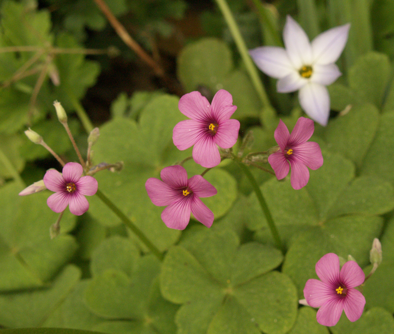 Oxalis with spring star flower Ipheion uniflorum