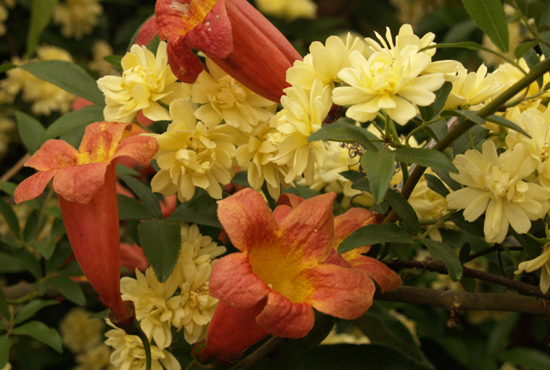 Lady Banks rose with Tangerine Dream crossvine