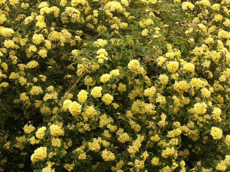 Garden drama queens big small central texas gardener lady banks rose profusion mightylinksfo