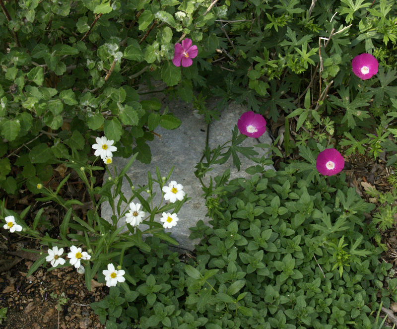 Blackfoot daisy, winecup, rock rose and oregano