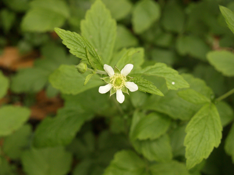 White Avens (Geum) flower