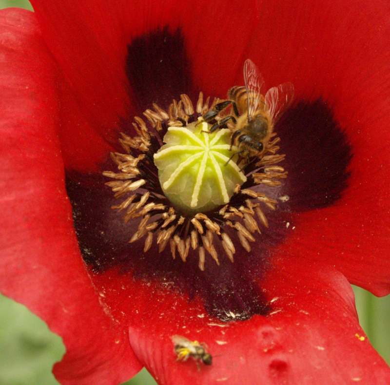 bees on red poppy