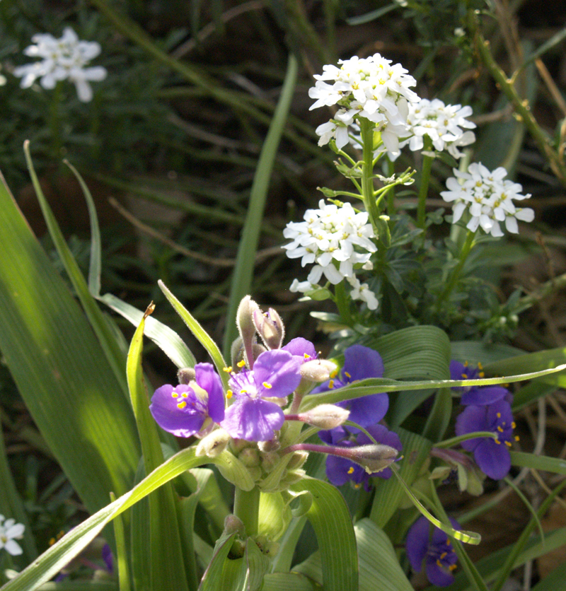 Spiderwort with iberis