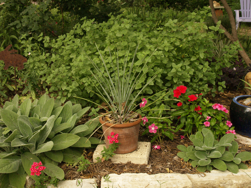 annual periwinkles (vinca) with Agave striata and Hot Lips salvi