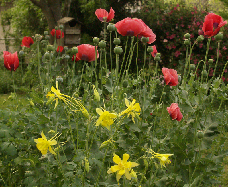 Red poppies and yellow columbine