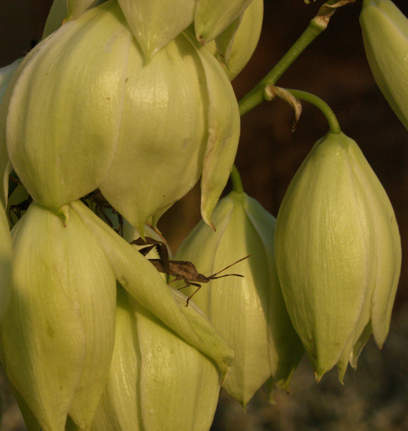 Leaffooted bug on Yucca pallida flower