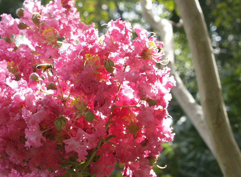 Psychoactive plants with susan wittig albert plus some of my own bee on pink crape myrtle mightylinksfo