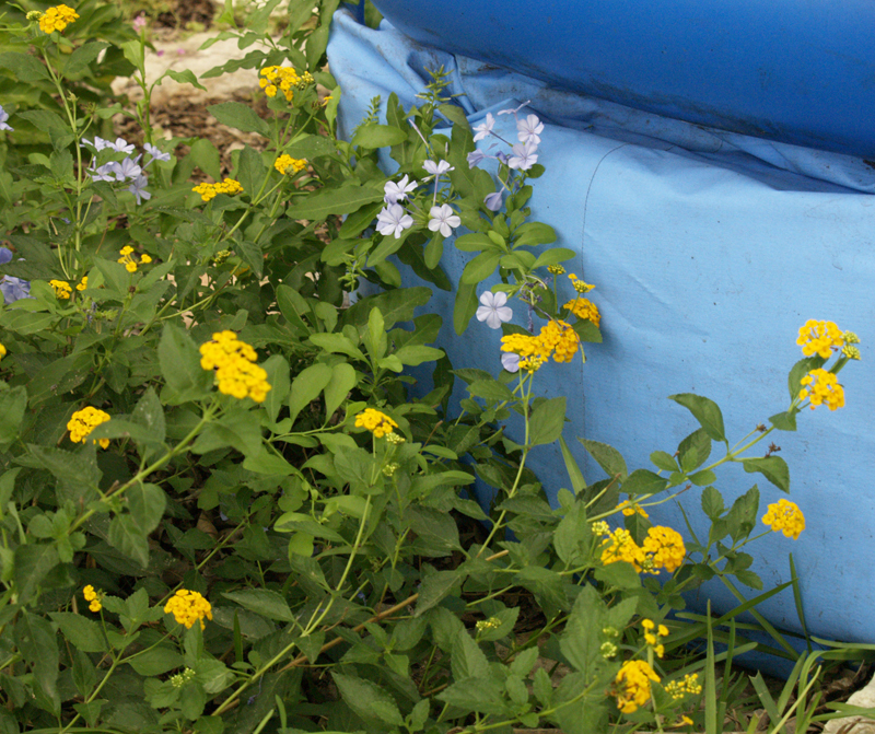 Plumbago and lantana around kiddie pool