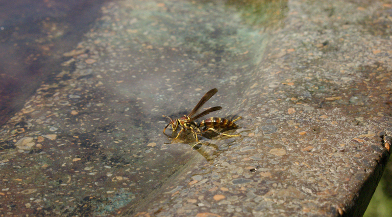 Wasp getting drink at bird bath