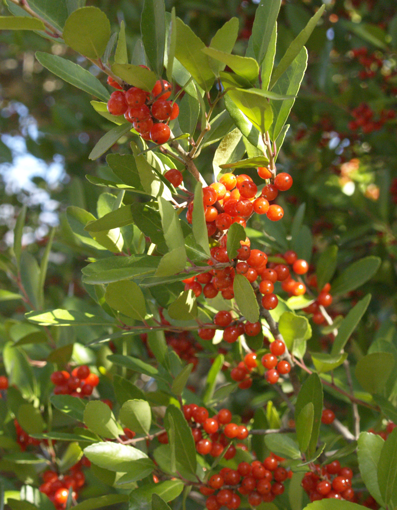 Yaupon holly leaves as coffee substitute