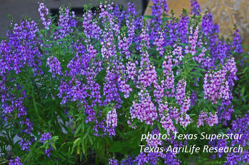 Serena Angelonia Texas Superstar plant
