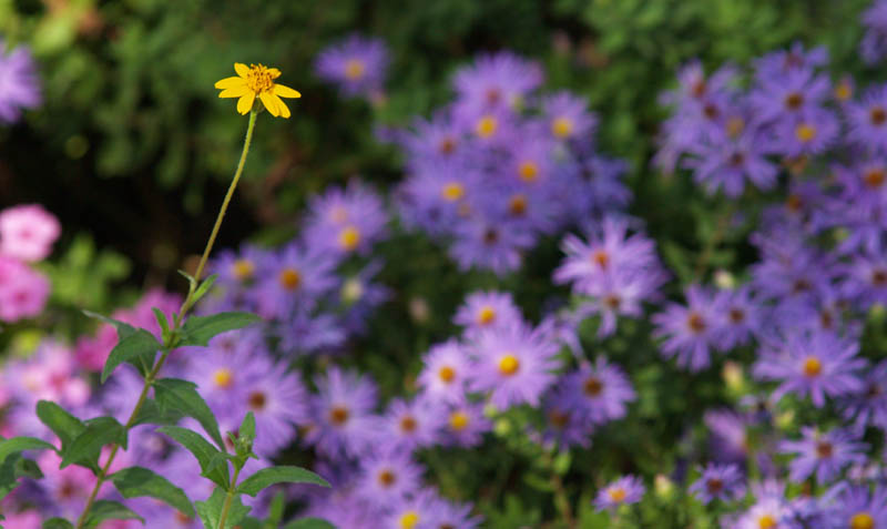 Zexmenia with asters and oxalis