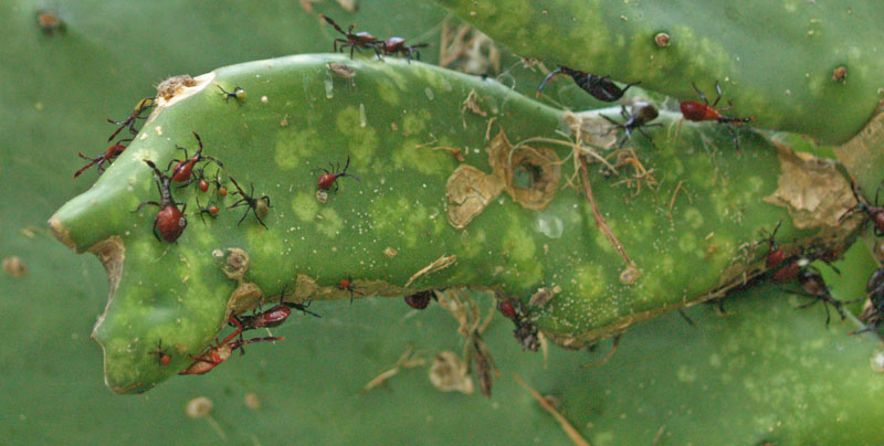 Cactus bug on spineless prickly pear