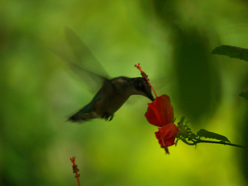 Hummingbird on turks cap photo by Greg Klinginsmith