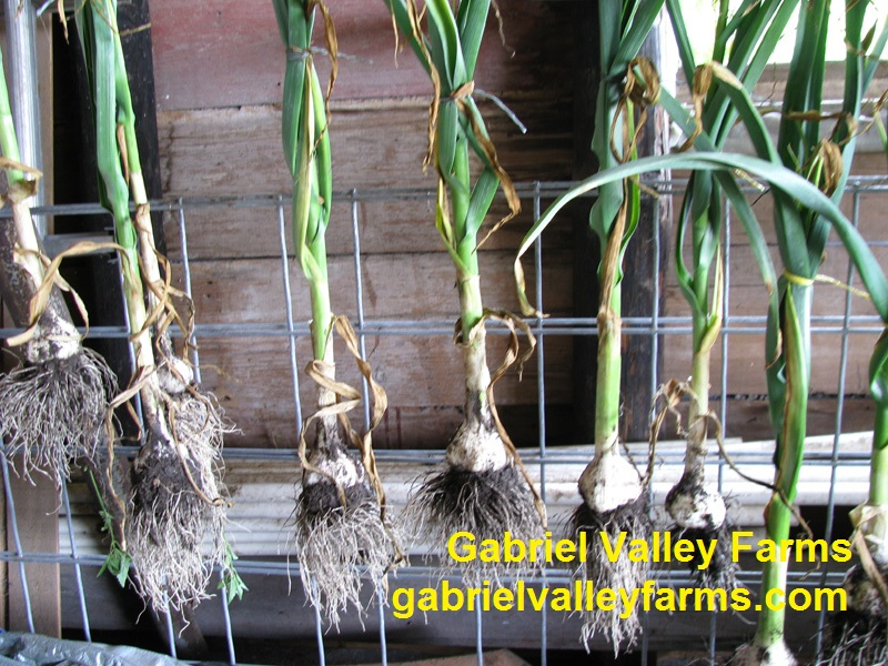 Garlic drying, Gabriel Valley Farms