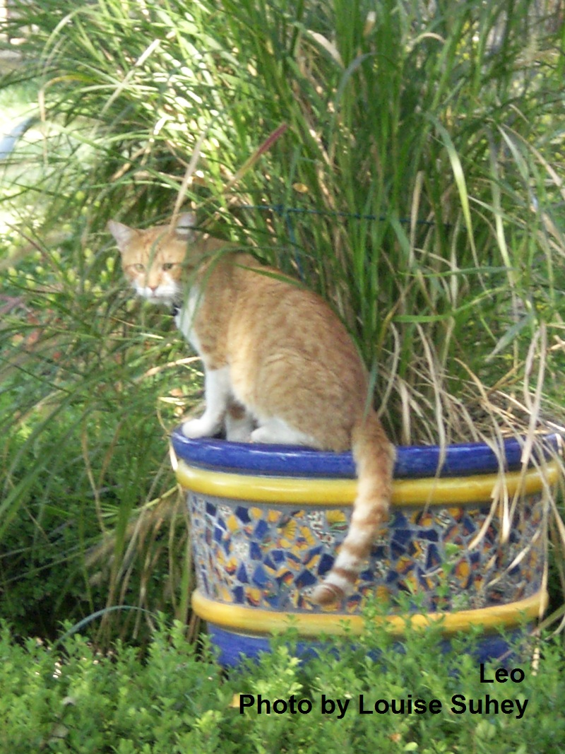 Leo the cat, Central Texas Gardener pet of the week