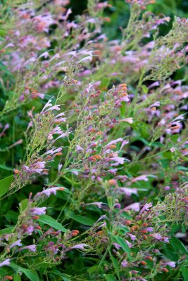 Agastache 'Acapulco Salmon and Pink'