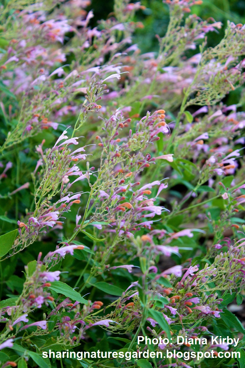 Agastache, Sharing Nature's Garden