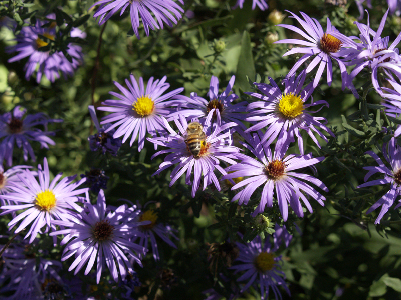 Purple aster with bee