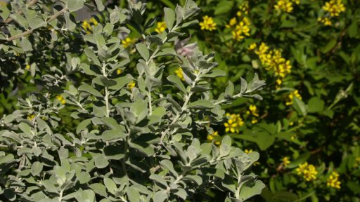 Cenizo, Texas sage against thryallis