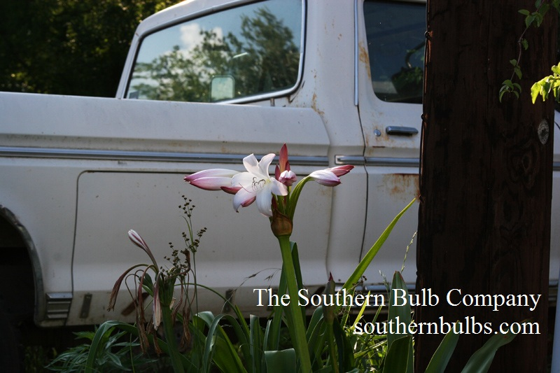 Crinum lily Southern Bulb Company