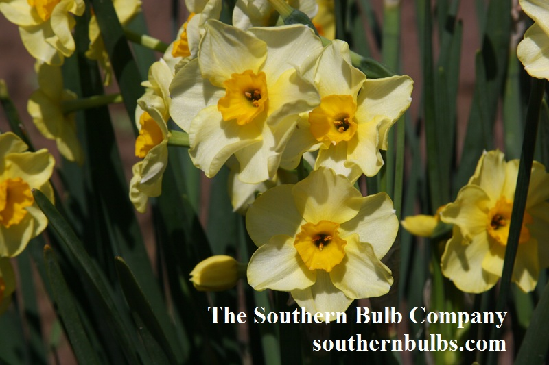 Narcissus 'Golden Dawn' The Southern Bulb Company
