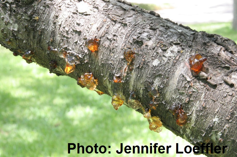 Bacterial canker on peach tree, Central Texas Gardener