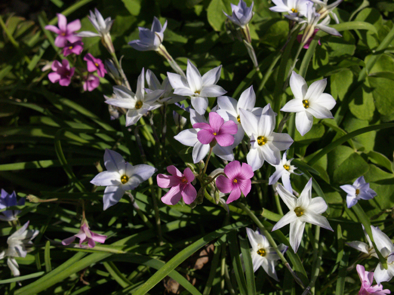 Spring star flower (Ipheion) with oxali