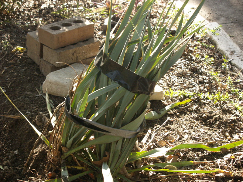 Yucca restrained for plumbing dig