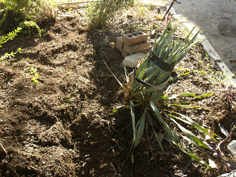 Yucca ruppicola x pallida spared in plumbing dig
