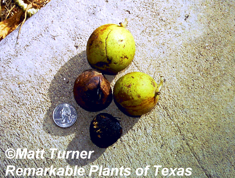 Black walnut Juglans nigra fruit