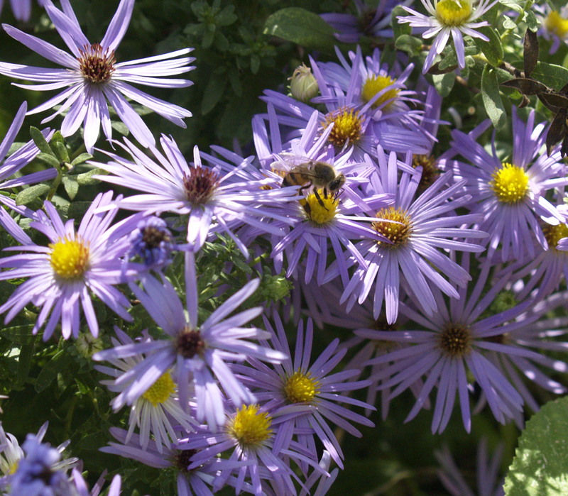 Native aster with bee