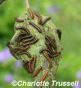Bordered Patch caterpillars by Charlotte Trussell