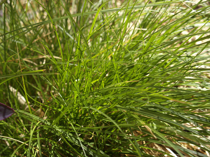 Sedge, Carex retroflexa Central Texas Gardener
