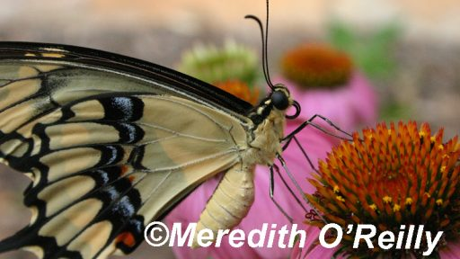 Giant swallowtail butterfly on coneflower by Great Stems