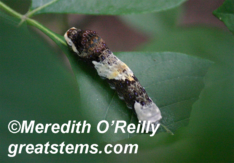 Giant swallowtail caterpillar by Great Stems