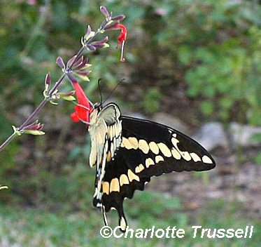 Giant swallowtail butterfly by Charlotte Trussell
